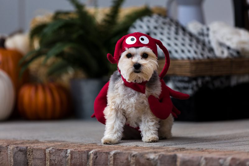 Cricut projects, lobster dog costume